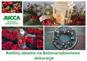Rośliny idealne na Bożonarodzeniowe dekoracje