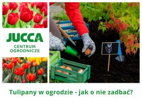 Tulipany w ogrodzie - jak o nie zadbać?