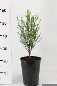Prumnopitys andina wys: 30-40 cm. don: RPC4 23874